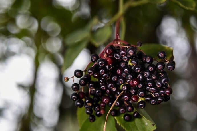 Czarny bez –  skuteczne lekarstwo na wiele dolegliwości