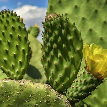 Opuncja figowa - odmładzający skarb Azteków