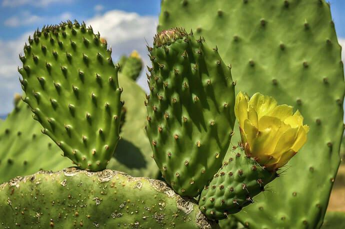 Opuncja figowa – odmładzający skarb Azteków