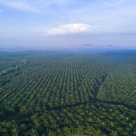 Olej palmowy - z czego wynika jego zła reputacja?