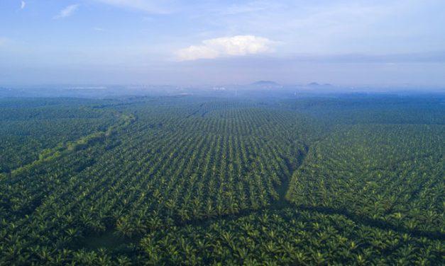 Olej palmowy – z czego wynika jego zła reputacja?