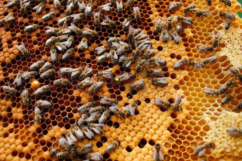 pszczoły Sadowscy